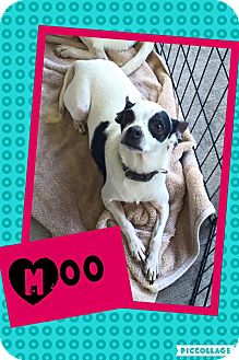 Chihuahua Mix Dog for adoption in Scottsdale, Arizona - Moo