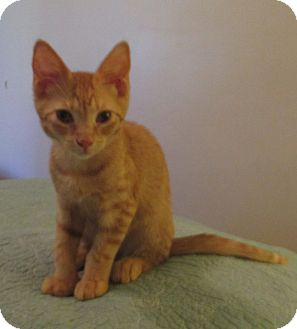 Domestic Shorthair Kitten for adoption in Bronx, New York - SKIP
