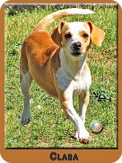 Dachshund Mix Dog for adoption in Hillsboro, Texas - Clara