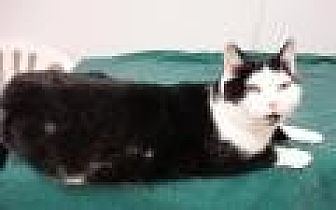Domestic Shorthair Cat for adoption in Stuart, Virginia - Megan