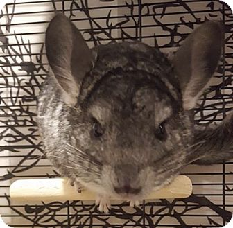 Chinchilla for adoption in Patchogue, New York - Simba