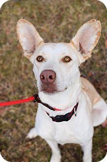 Pharaoh Hound/Labrador Retriever Mix Dog for adoption in DFW, Texas - Akeela