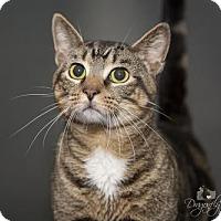 Adopt A Pet :: Tiger - Waynesboro, PA