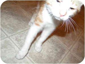 Domestic Shorthair Kitten for adoption in Nashville, Tennessee - Thomas