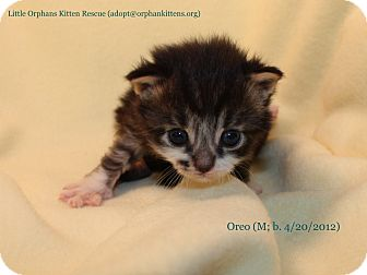 Domestic Shorthair Kitten for adoption in Union, Kentucky - Oreo