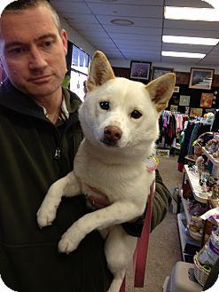 Shiba Inu Dog for adoption in Ogden, Utah - Holly