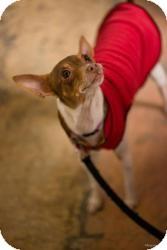 Chihuahua/Rat Terrier Mix Dog for adoption in Minneapolis, Minnesota - Luna