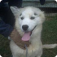 Adopt A Pet :: Ashley - Albany, NY