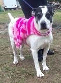 Dalmatian/Pit Bull Terrier Mix Dog for adoption in Mount Pleasant, South Carolina - Umba