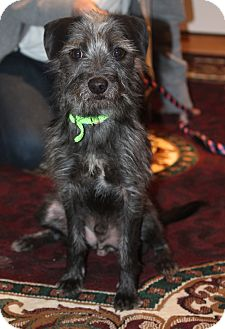 Kerry Blue Terrier/Irish Terrier Mix Dog for adoption in Bedford Hills, New York - Max