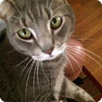 Adopt A Pet :: Felix - Columbia, MD