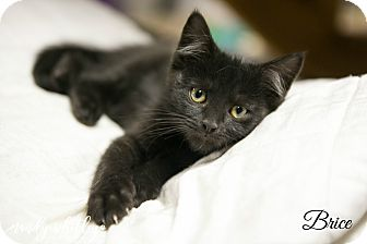 Domestic Mediumhair Kitten for adoption in Columbia, Tennessee - Brice