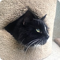 Domestic Longhair Cat for adoption in Newport Beach, California - Biggie