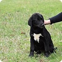 Adopt A Pet :: Kisses - Groton, MA
