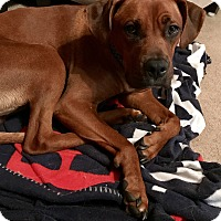 Redbone Coonhound/Boxer Mix Dog for adoption in Fort Collins, Colorado - Scar
