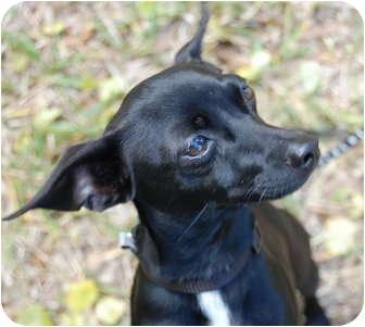 Miniature Pinscher/Rat Terrier Mix Dog for adoption in Vero Beach, Florida - Tank
