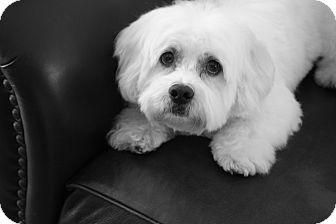 Bichon Frise Mix Dog for adoption in Gig Harbor, Washington - Leo