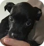 Labrador Retriever/Retriever (Unknown Type) Mix Puppy for adoption in Mahopac, New York - LULU