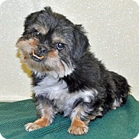 Adopt A Pet :: Coco Puff - Port Washington, NY