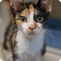 Adopt A Pet :: Stella - Merrifield, VA