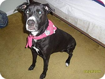 American Staffordshire Terrier/Boston Terrier Mix Dog for adoption in Shaw AFB, South Carolina - Faith