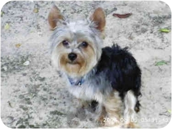 Yorkie, Yorkshire Terrier Dog for adoption in Statewide and National, Texas - Teddy Bear - TX