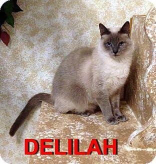 Siamese Cat for adoption in Alvin, Texas - Delilah
