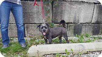 Affenpinscher Mix Dog for adoption in Frankfort, Illinois - Eddie