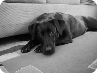 Labrador Retriever Dog for adoption in Chandler, Arizona - COOKIE 6