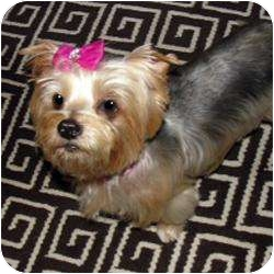 Yorkie, Yorkshire Terrier Mix Dog for adoption in Omaha, Nebraska - Desire