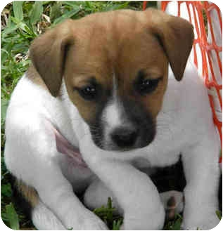Jack Russell Terrier/Spaniel (Unknown Type) Mix Puppy for adoption in Phoenix, Arizona - MARBLES