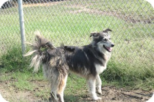 Collie Mix Dog for adoption in Quinlan, Texas - Halle