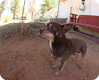 Chihuahua Dog for adoption in Las Cruces, New Mexico - Chance