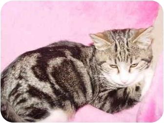 Domestic Shorthair Kitten for adoption in KANSAS, Missouri - Rascal