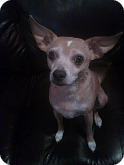 Chihuahua Mix Dog for adoption in richmond, Virginia - Woody