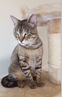 Domestic Shorthair Cat for adoption in Hallandale, Florida - Noah