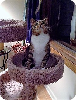 Domestic Shorthair Cat for adoption in Rochester, Minnesota - Peggy