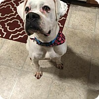Boxer Dog for adoption in Wilmington, North Carolina - Abigail