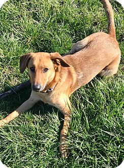 Labrador Retriever Mix Dog for adoption in Greeneville, Tennessee - ROSE