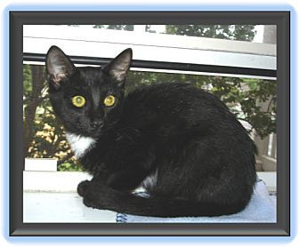 Domestic Shorthair Kitten for adoption in Easley, South Carolina - Sid