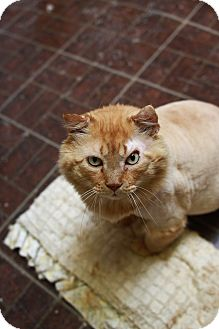 Domestic Longhair Cat for adoption in St. Petersburg, Florida - Frankie
