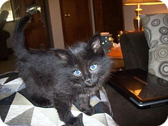Domestic Longhair Kitten for adoption in Kelso/Longview, Washington - Timothy