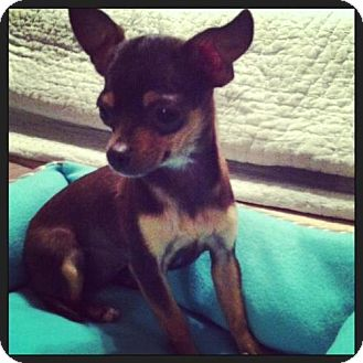 Chihuahua Mix Puppy for adoption in Las Vegas, Nevada - Stella
