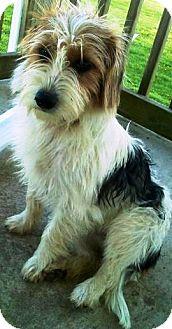 Terrier (Unknown Type, Small)/Schnauzer (Miniature) Mix Dog for adoption in Oswego, Illinois - Sorbet