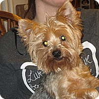 Adopt A Pet :: Abbie Yorkie - Salem, NH