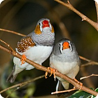 Adopt A Pet :: Zebra Finches - Lenexa, KS