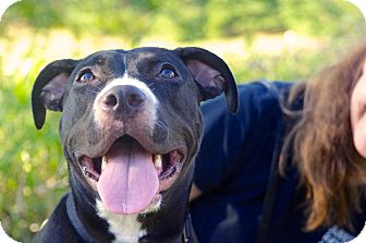 American Pit Bull Terrier Mix Puppy for adoption in Reisterstown, Maryland - Luna