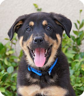 German Shepherd Dog Mix Puppy for adoption in Thousand Oaks, California - Irwin von Portia