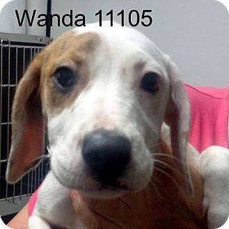 Boxer/Hound (Unknown Type) Mix Puppy for adoption in Greencastle, North Carolina - Wanda