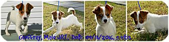 Jack Russell Terrier Puppy for adoption in Siler City, North Carolina - Geoffrey